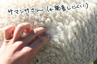 メリノ・シープ(Omarama出身)