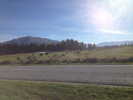 昨日越してきたと思われる牛さんの大群。おとといはいなかった。