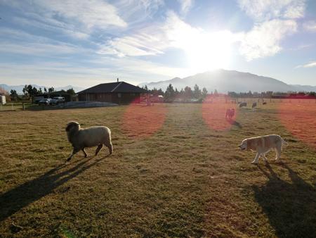 チャーリー(羊)と遊びたいエビス(犬)