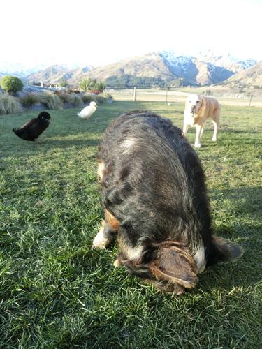 ペネロペ(豚)お嬢様のボディガード。ビリーとラッキー(アヒル)。