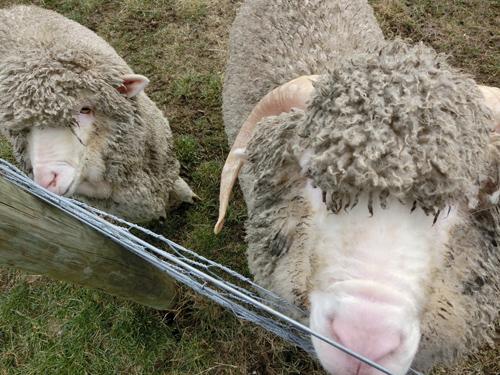 羊さんチームの「メリノ・シープ」コンビ。