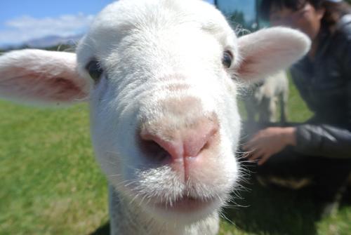 この頃からカメラ大好き!な羊たち。こまちさん。