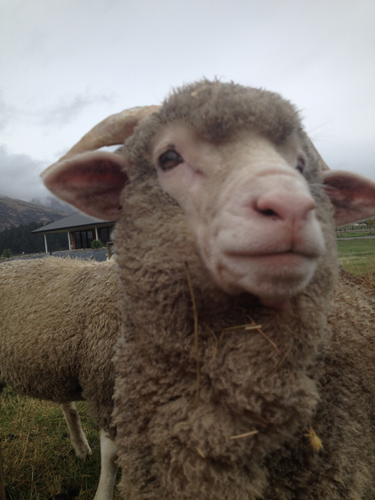 羊というよりはエイリアンっぽいバーニー。