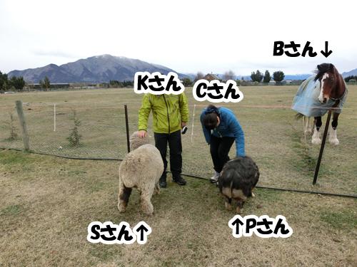 そんな馬たちに嫉妬するサマンサ(羊)とペネロペ(豚)