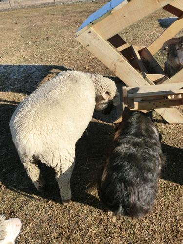 こそこそ話中のチャーリー(羊)とペネロペ(豚)