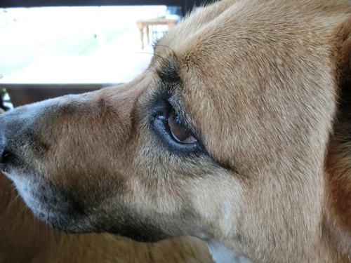 犬種:ラブとコリーのMIX