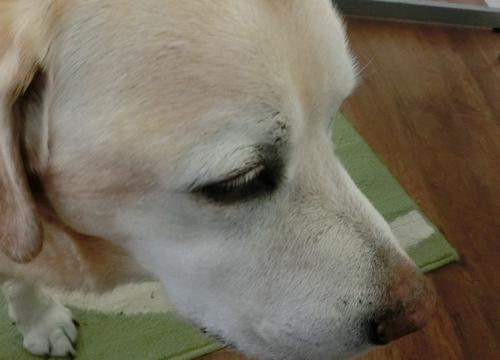犬種:ラブラドール