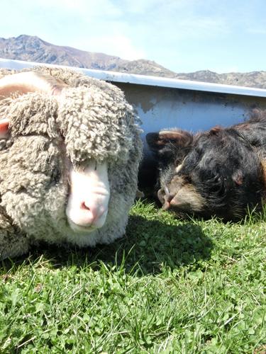 (左の羊)バーニー、(右)ペネロペお嬢様