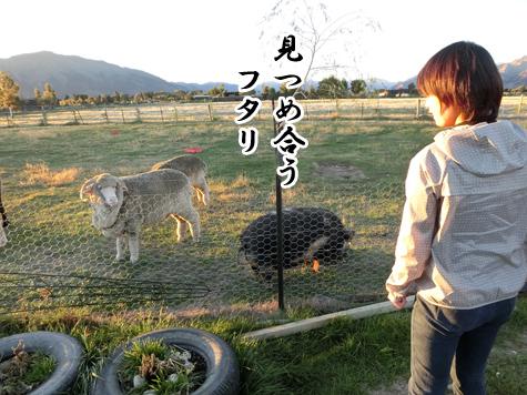 羊のバーニーと