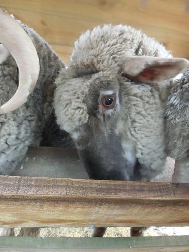 *猫と同様、羊も光の加減によって黒目の大きさが変わります。