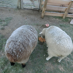 「羊大福」もこの時期だからこそ。